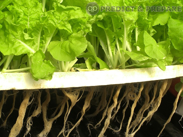 Aquaponics Lettuce - PREDICT & PREPARE