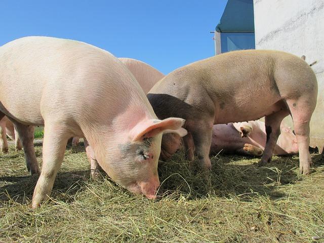 Pigs - PredictandPrepare.com