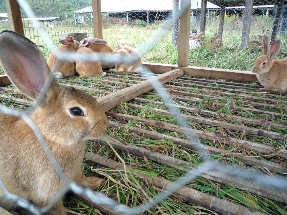 Rabbits - PredictandPrepare.com