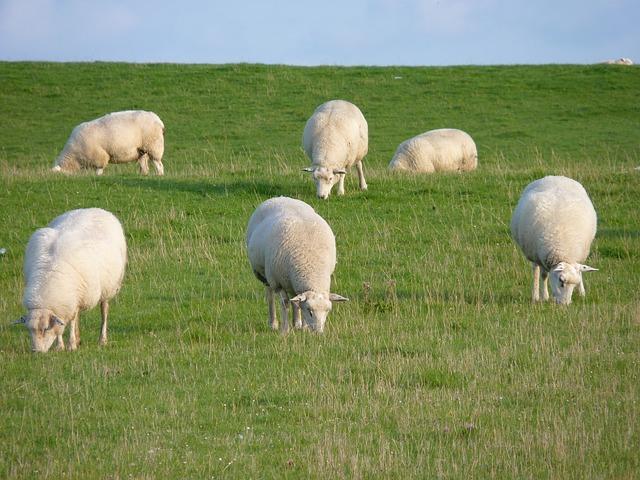 Sheep - PredictandPrepare.com